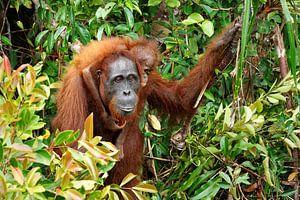 Oran-oetan met jong in het regenwoud van Ralf Lehmann
