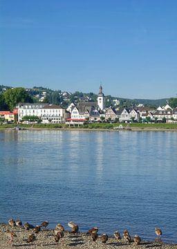 Nijlganzen op de Rijn voor Bad Breisig van Peter Eckert