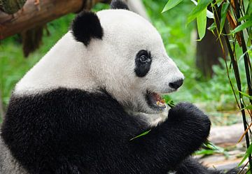 Pandabär frisst Bambus von Chihong