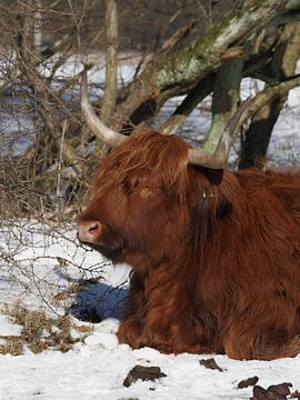 Amsterdamse Bos Schottischer Highlander von eric piel