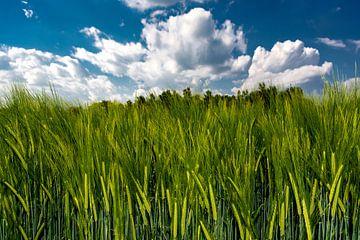 The cornfield von Michael Nägele