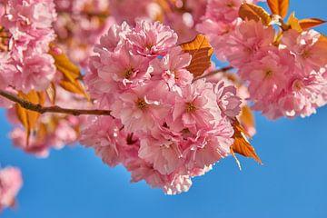 Rosa Blüte vor blauem Himmel von Jenco van Zalk
