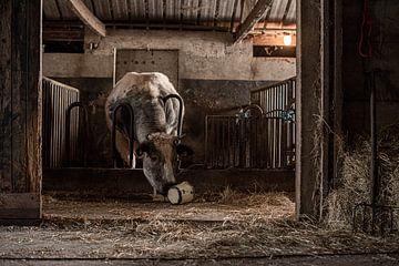 Nieuwsgierige stier speelt met oude pot van Danai Kox Kanters