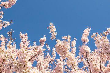 Kirschblüte von Wouter Bos
