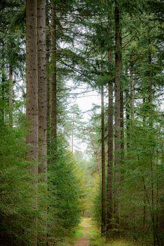 Pad door een groen dennenbos tijdens de herfst van Sjoerd van der Wal