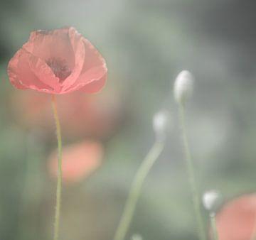 Zacht rode klaproos van Minie Drost