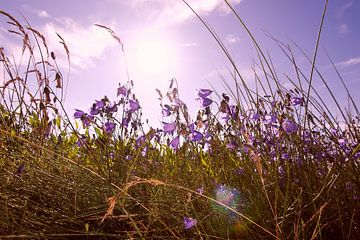 Sommerwiese von
