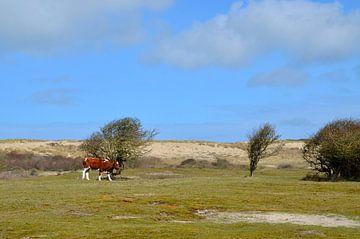 Witrik koe in duingebied Oostkapelle van Oostkapelle Fotografie