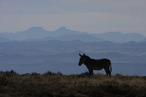 Zebra in Mountain Zebra Park Zuid Afrika