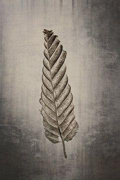 Haagbeuk -  Carpinus betulus