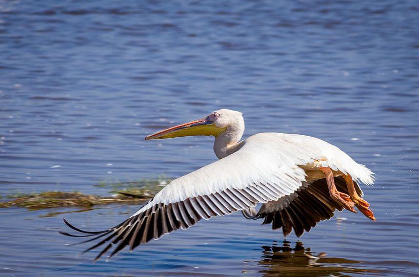 Laagvliegende pelicaan van Peter Postmus