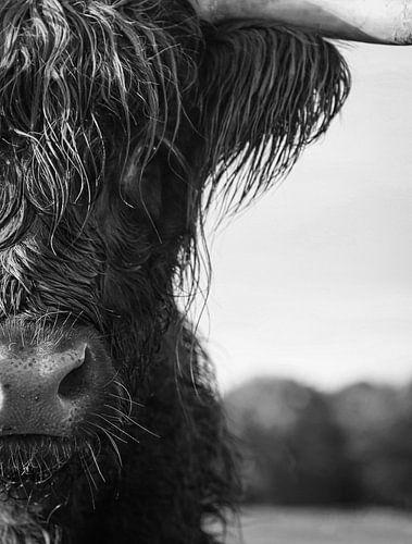 Close up   Schotse Hooglander zwart wit