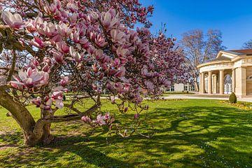 Magnolia en fleurs dans les jardins du spa de Bad Cannstatt.