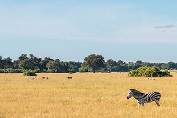 Zebra auf freiem Feld in Sambia von Ramon Lucas