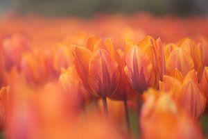 Tulpenveld met rood en oranje gekleurde tulpen van