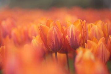 Tulpenfeld mit roten und orangefarbenen Tulpen von Caroline van der Vecht
