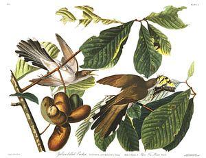 Geelsnavelkoekoek