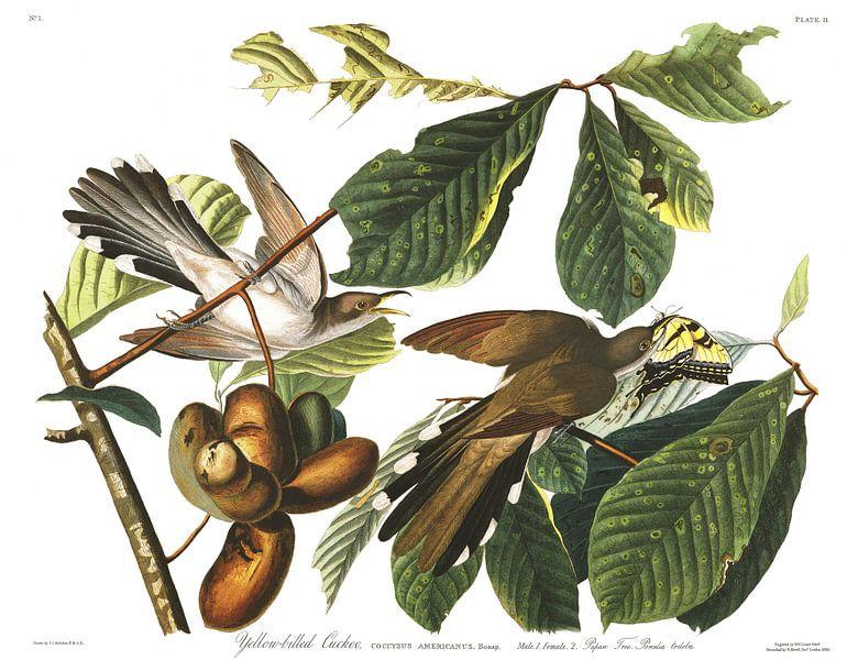 Geelsnavelkoekoek van Birds of America