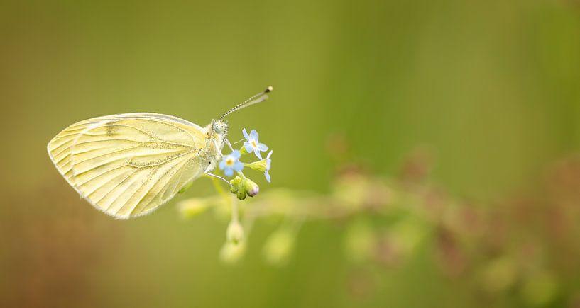 Vlinder in het ochtendlicht van Yvonne Kruders
