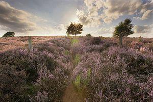 Posbank heide landschap