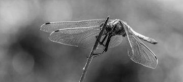Libelle von Marcel Pietersen