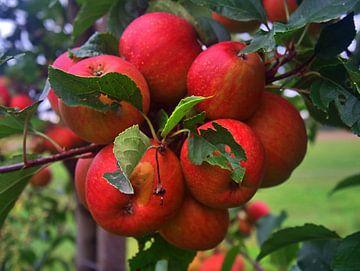 appelschittering van