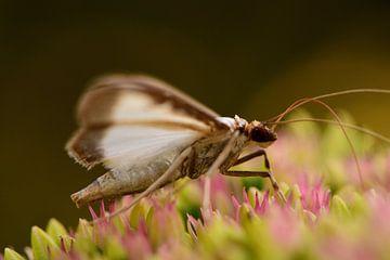 Ein Schmetterling auf einer Blume von Gerard de Zwaan
