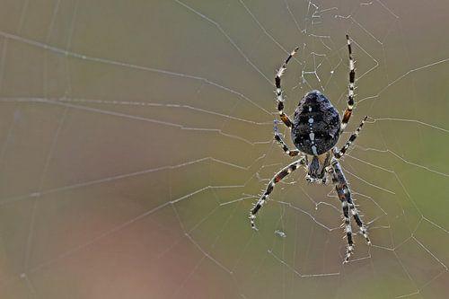 Spider von