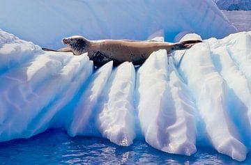Zeehond op ijs - analoge fotografie! van Tom River Art