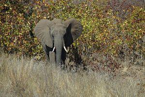Olifant / Elephant, Krugerpark, Zuid-Afrika van Maurits Bredius