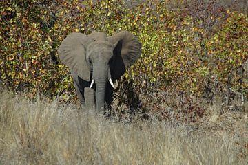 Olifant / Elephant, Krugerpark, Zuid-Afrika van