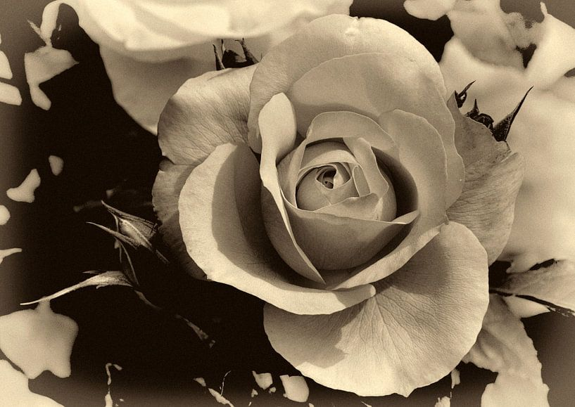 Roos von Leo Langen