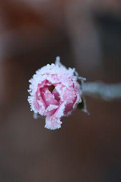 Gefrorene Rose von Anthea van den Berg