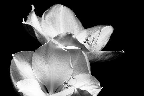 Bloem, Amaryllis zwart-wit  van Henriette Mosselman