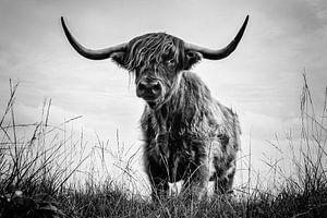 Schotse Hooglander op de Jiltdijksheide te Opende