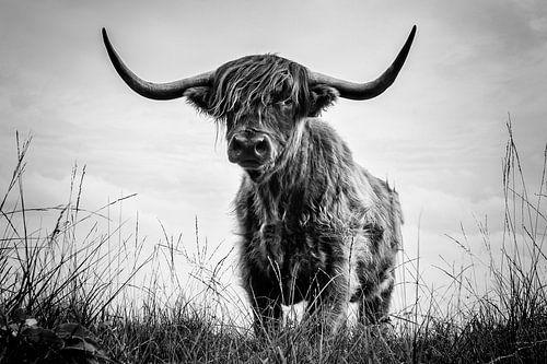 Schotse Hooglander op de Jiltdijksheide te Opende van