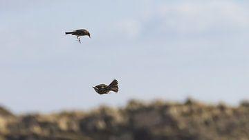 Danse aérienne Pipers des prés Vlieland I
