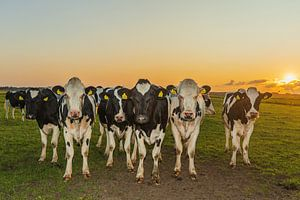 Koeien bij ondergaande zon van