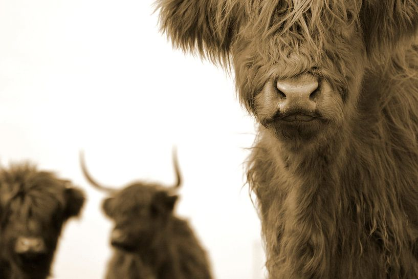 Schotse hooglanders 3 koppen sepia van Sascha van Dam