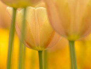 Tulp  (pasteltint) van