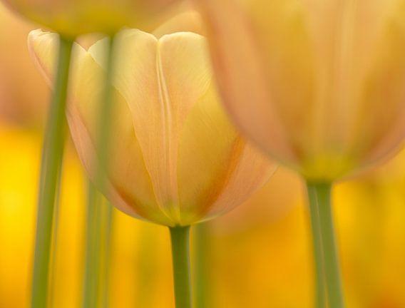 Tulp  (pasteltint) van Marco Liberto