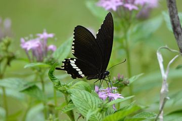 Vlinder op bloem von Maurits Kuiper