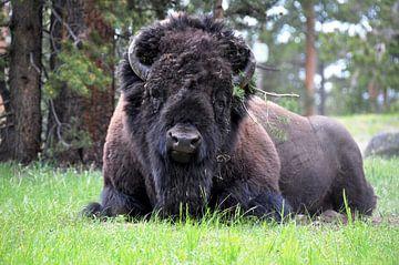 Krachtige bizon ligt te herkauwen van Peter Mooij
