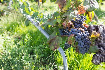 Druiventak wijngaard Frankrijk von Tess Smethurst-Oostvogel