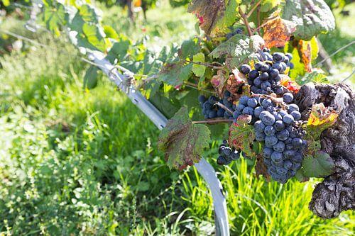 Druiventak wijngaard Frankrijk
