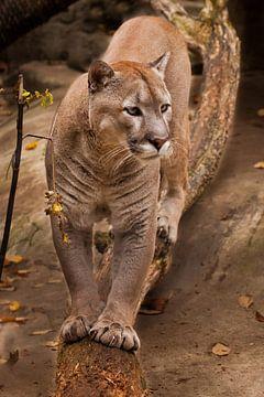 Il marche le long d'une bûche et regarde avec intérêt. Puissant gros chat puma sauvage américain (co sur Michael Semenov