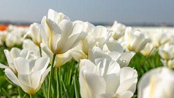 Feld der weißen Tulpe in den Niederlanden von Remco-Daniël Gielen Photography