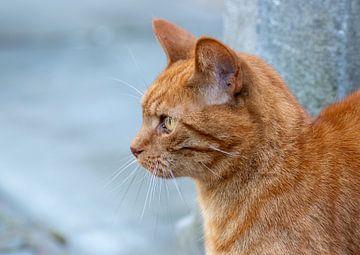 Fokussierte Katze von Tomasz Baranowski