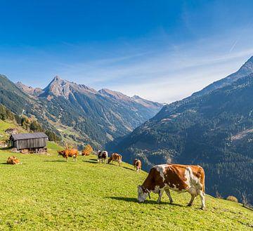 Grazende koeien op de alm van Peter Leenen