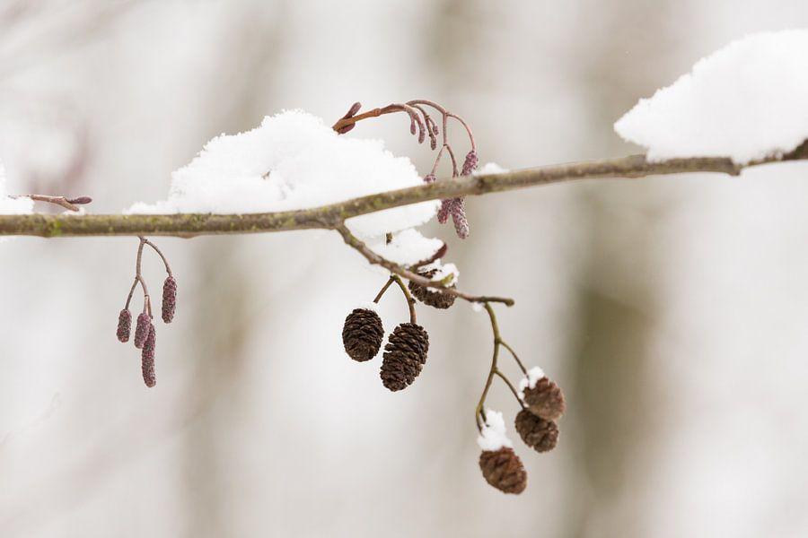 Elzenkatjes in de sneeuw